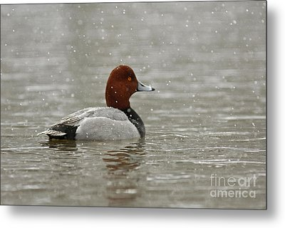 Redhead Duck In Winter Snow Storm Metal Print by Inspired Nature Photography Fine Art Photography