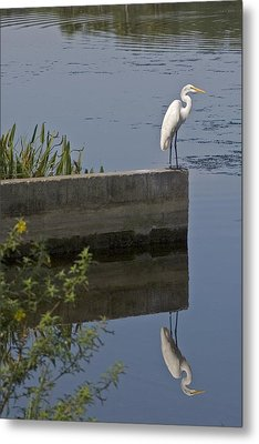 Reflecting Egret Metal Print