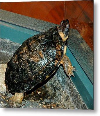 Reflecting Turtle Metal Print