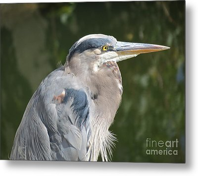 Regal Heron Metal Print by Gayle Swigart