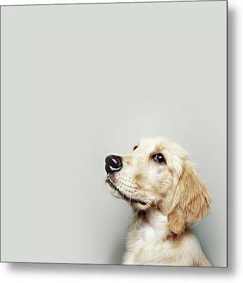 Retriever Pup Metal Print by J W L Photography