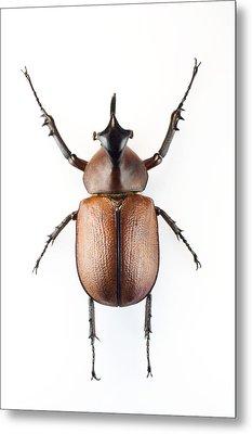 Rhinoceros Beetle Metal Print by Lawrence Lawry