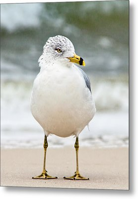 Ring-billed Gull Metal Print by Susi Stroud