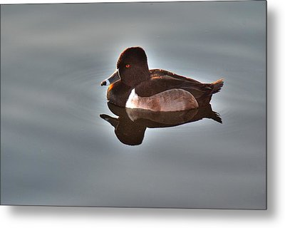 Metal Print featuring the photograph Ring-necked Duck by Tam Ryan