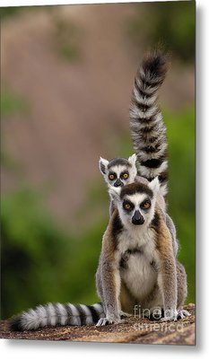 Ring-tailed Lemur Lemur Catta Mother Metal Print by Pete Oxford