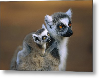 Ring-tailed Lemur Mother Carrying Baby Metal Print by Cyril Ruoso