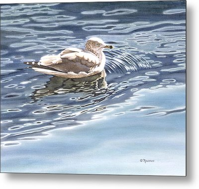 Ringed Bill Gull Metal Print by Richard De Wolfe