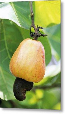 Ripe Cashew Nut Metal Print by David Nunuk