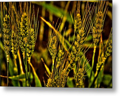 Ripening Wheat Metal Print by David Patterson