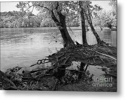 River-washed Roots Metal Print by Susan Isakson
