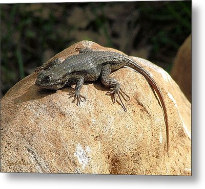 Metal Print featuring the photograph Rock Lizard by Wendy McKennon