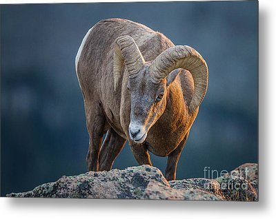 Rocky Mountain Big Horn Ram Metal Print