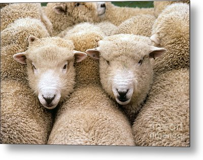 Romney Sheep Metal Print by Gregory G Dimijian and Photo Researchers