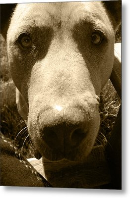 Roscoe Pitbull Eyes Metal Print by Kym Backland
