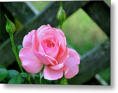Metal Print featuring the photograph Rose And Fence by Helen Haw