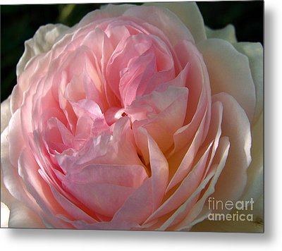 Metal Print featuring the photograph Rose Anglaise by Sylvie Leandre