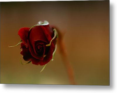 Rose Dream Metal Print by Gabriel Calahorra