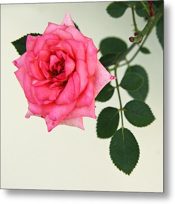 Metal Print featuring the photograph Rose In Full Bloom by Brooke T Ryan