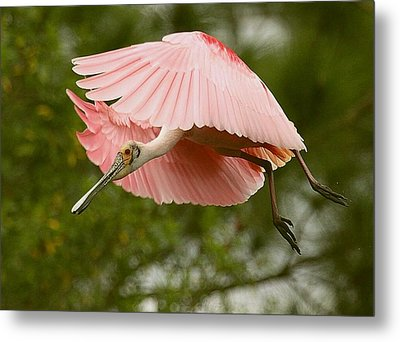Metal Print featuring the photograph Roseate Spoonbill In Flight by Myrna Bradshaw
