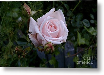 Metal Print featuring the photograph Roses In Bloom by Garnett  Jaeger