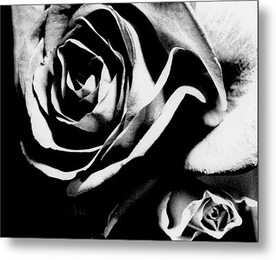Roses Study 1 Metal Print by Lisa  Spencer