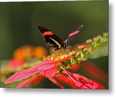 Rosina Butterfly Metal Print by Juergen Roth