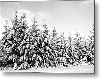 Row Of Evergreen Trees Are Laden With Snow Metal Print by Gail Shotlander