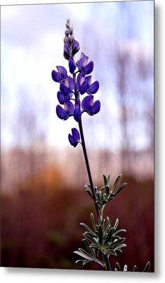 Metal Print featuring the photograph Royal Like Lupine by Sandy Fisher