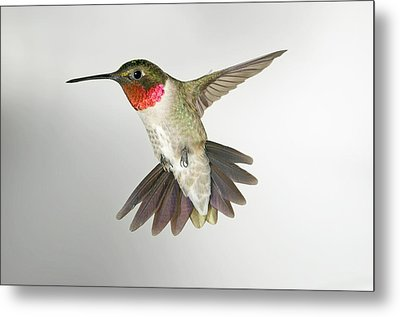 Ruby Throat Hummingbird Metal Print by Gregory Scott