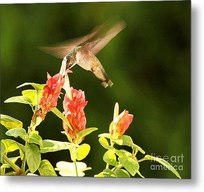 Metal Print featuring the photograph Ruby Throat Hummingbird by Luana K Perez