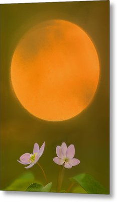 Rue Anemone And The Rising Sun Metal Print by Robert Charity