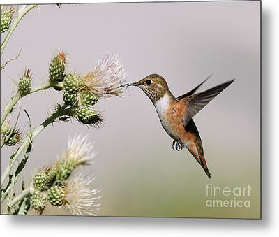 Rufous Hummingbird Metal Print by Doug Herr