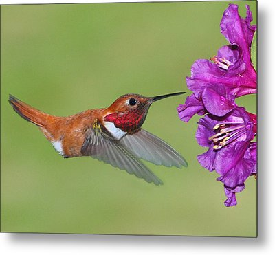 Metal Print featuring the photograph Rufous N Blooms by Jack Moskovita