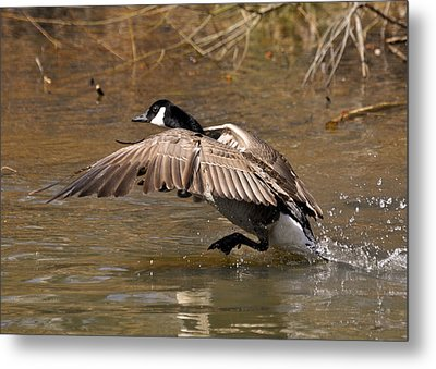 Running Atop The Water Canada Goose  - C2660a Metal Print by Paul Lyndon Phillips