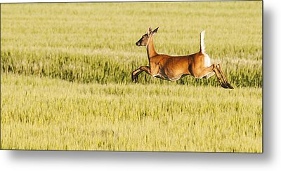 Running The Field Metal Print by Don Durfee