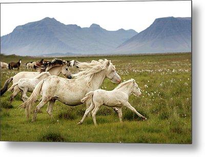Running Wild In Iceland Metal Print by Gigja Einarsdottir