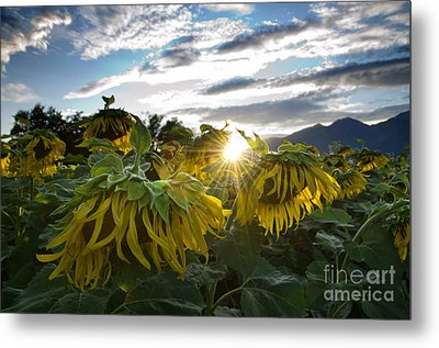 Sad Sunflowers Metal Print by Mats Silvan