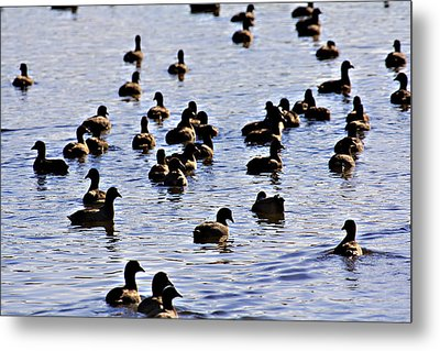 Safety In Numbers Metal Print by Douglas Barnard