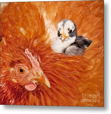 Safety Of Mama Hen Metal Print