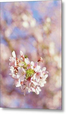 Sakura, Pink Cherry Blossom Tree Metal Print by Bonita Cooke