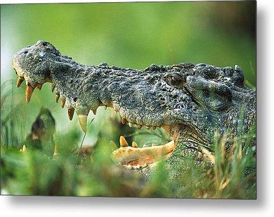 Saltwater Crocodile Crocodylus Porosus Metal Print by Cyril Ruoso
