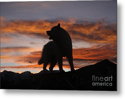 Samoyed At Sunset Metal Print by Kent Dannen and Photo Researchers