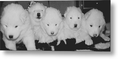 Samoyed Puppies Metal Print by Tammy Sutherland