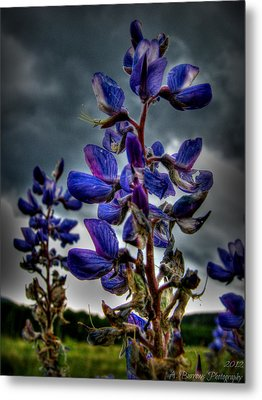 San Francisco Volcanic Field Silver Lupines Hdr Metal Print by Aaron Burrows