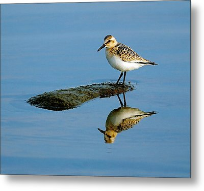 Sanderling Reflecting Metal Print by Tony Beck