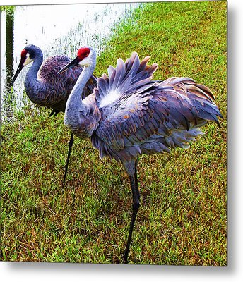 Sandhill Cranes-plumes In Bloom Metal Print by Joy Braverman