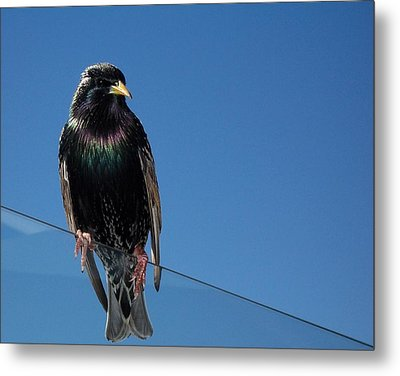 Metal Print featuring the photograph Santa Monica Pier Starling by Peter Mooyman