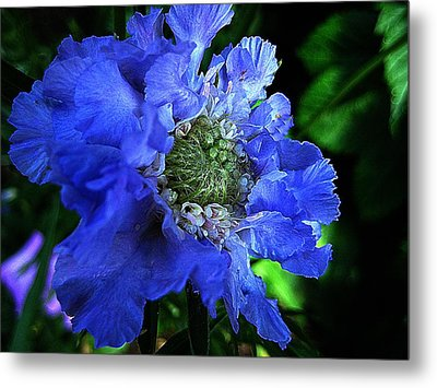 Scabiosa Metal Print by Shirley Sirois