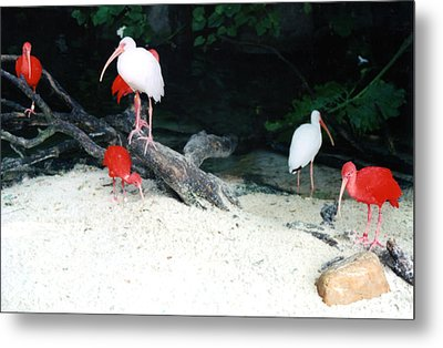 Metal Print featuring the photograph Scarlet Ibis And Spoonbills by Maureen E Ritter
