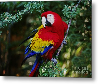 Metal Print featuring the photograph Scarlet Macaw - Guatemalan Rainforest by Craig Lovell